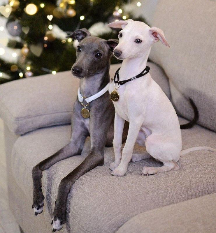 Greyhounds 31