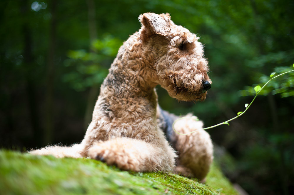 Airedale Terrier 30