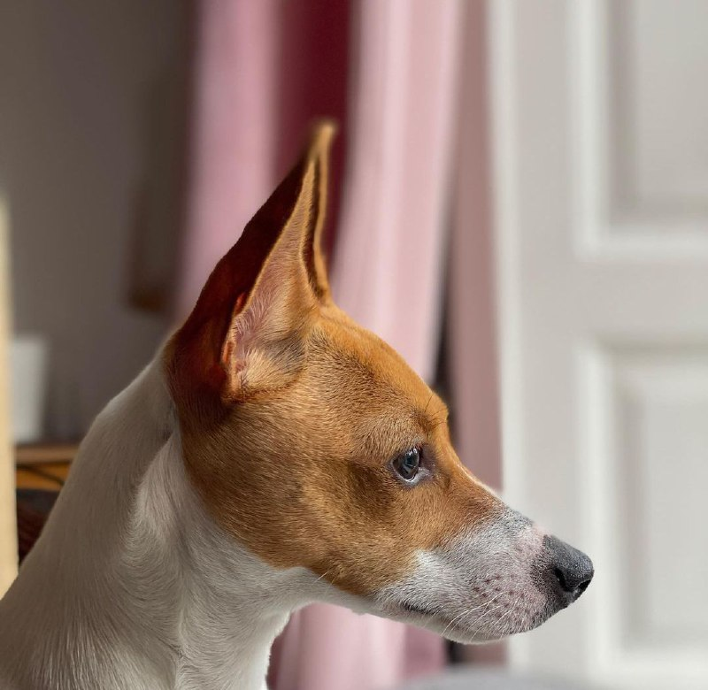 American Toy Fox Terrier 26