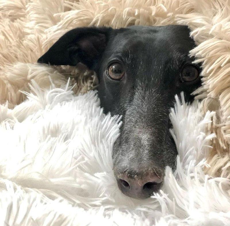 Greyhounds 33