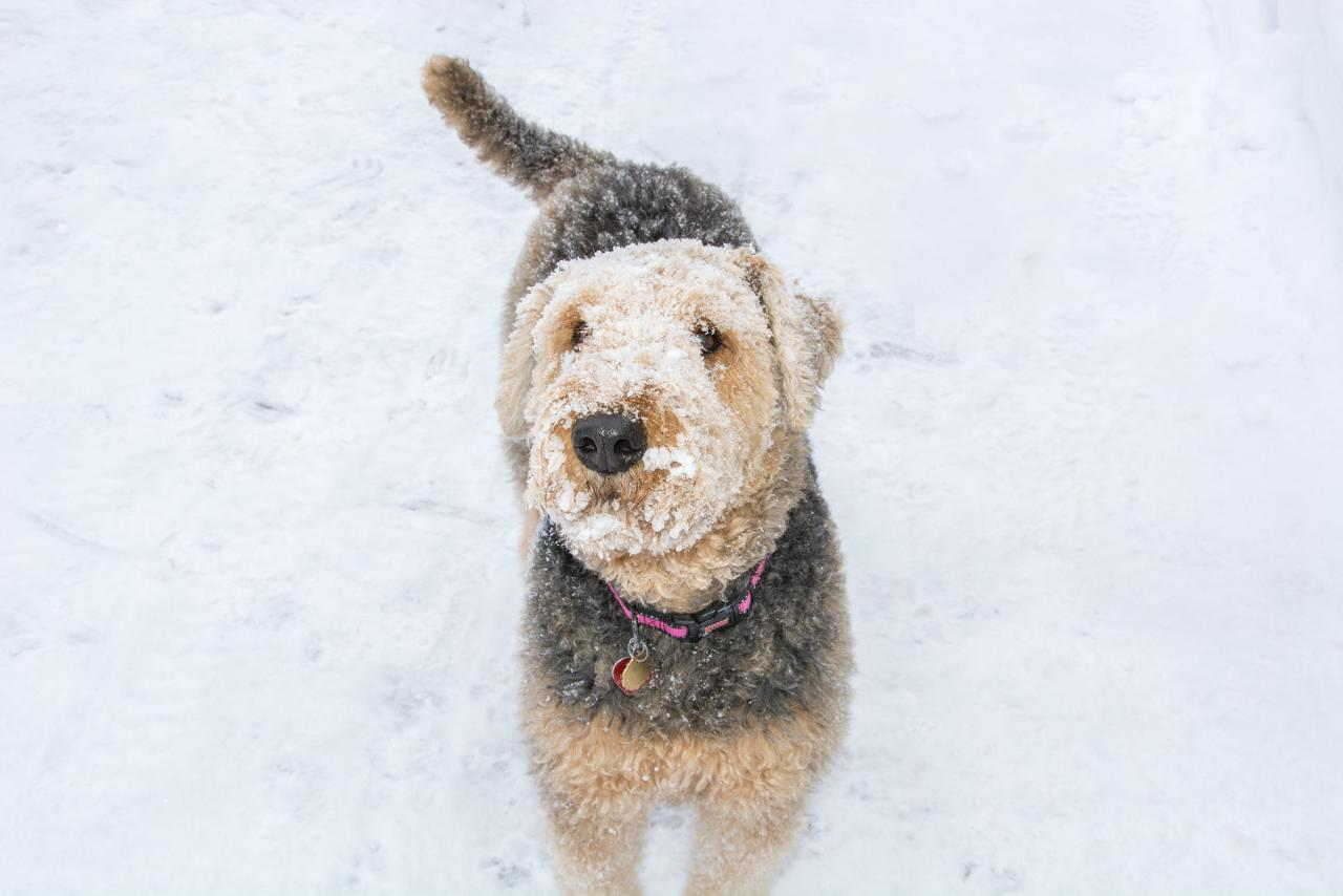 Airedale Terrier 28