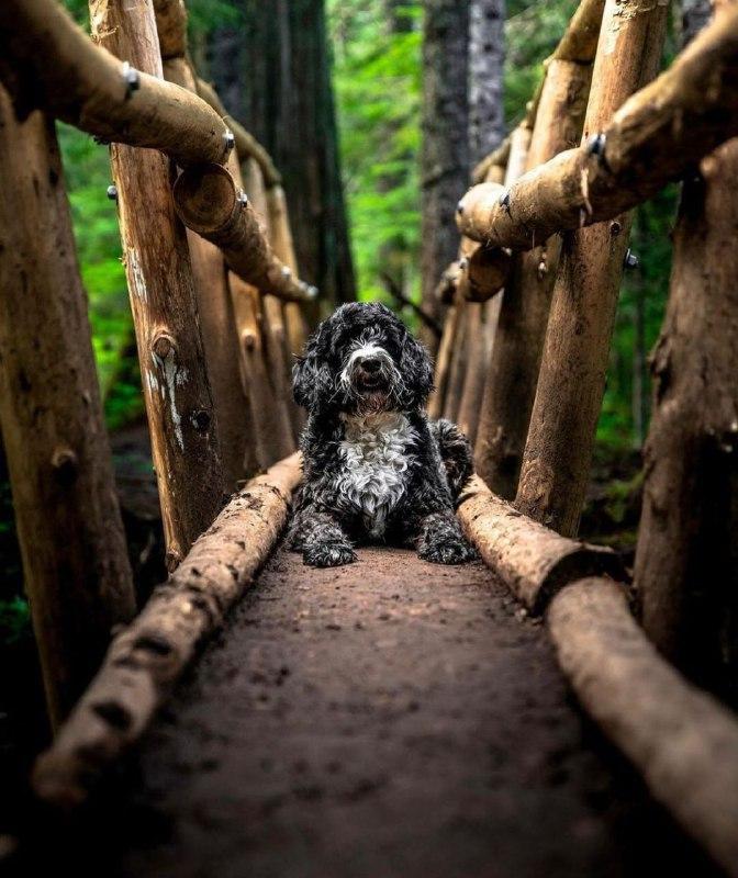 Portuguese Wasserhund or Portuguese Water Dog 32