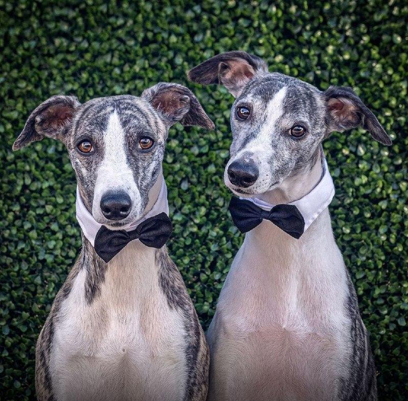 Greyhounds 34
