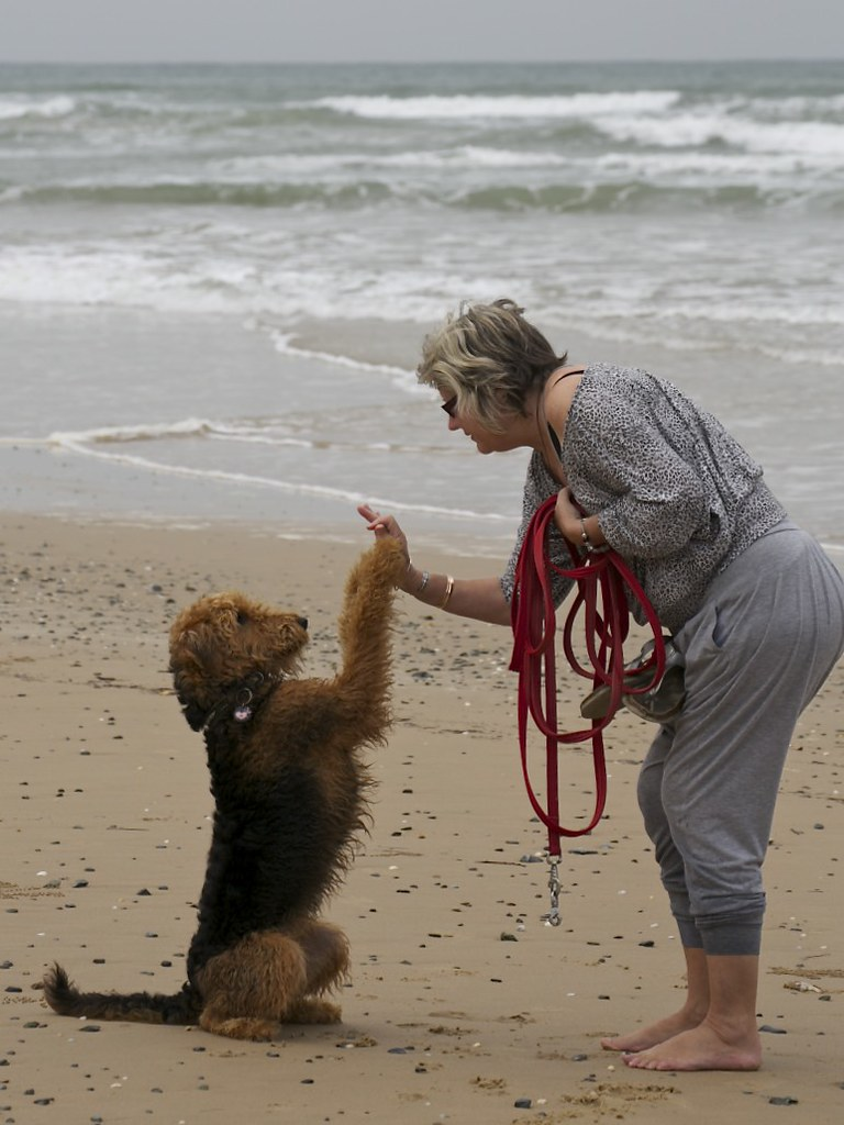 Airedale Terrier 27