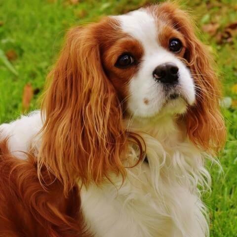 Cavalier King Charles Spaniel Dog 24