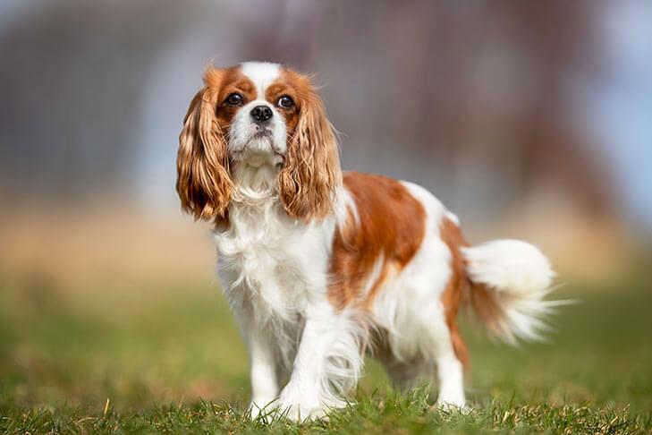 Cavalier King Charles Spaniel Dog 23