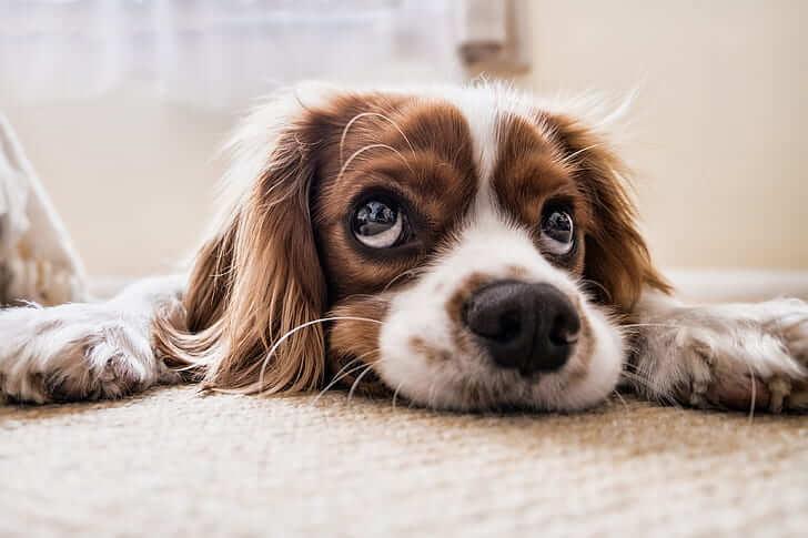 Cavalier King Charles Spaniel Dog 21