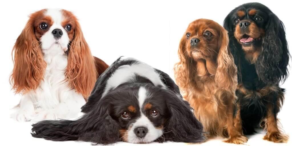 Cavalier King Charles Spaniel Dog 20