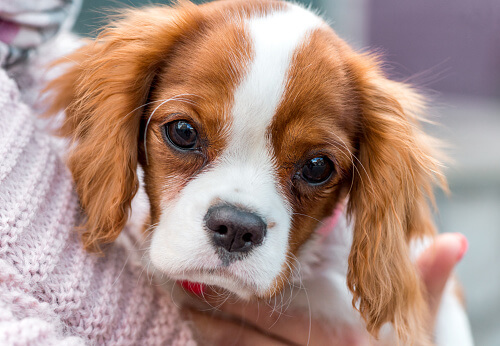 Cavalier King Charles Spaniel Dog 19