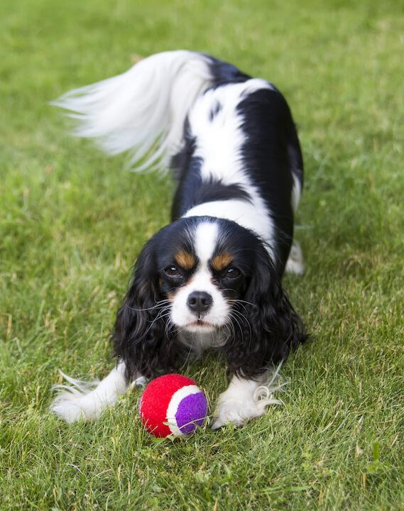 Cavalier King Charles Spaniel Dog 22