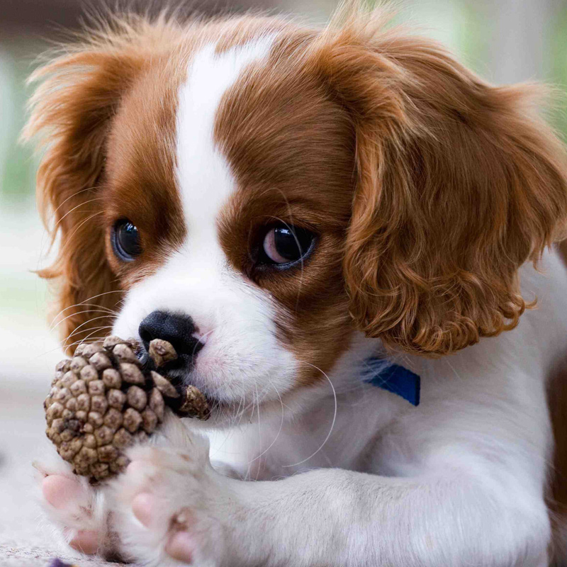 Cavalier King Charles Spaniel Dog 17