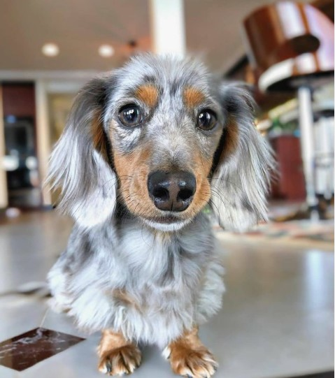 Dachshunds: Combinations of Smart and Beauty 20