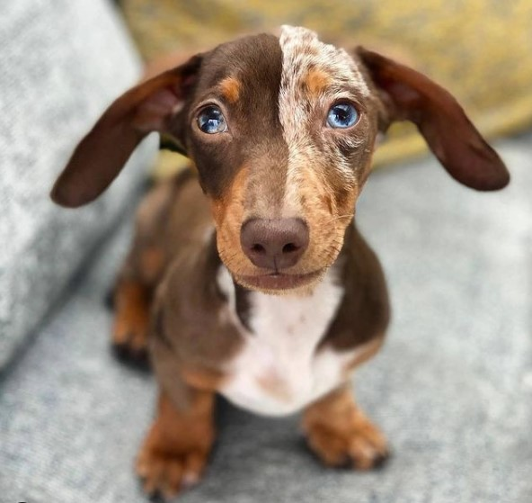 Dachshunds: Combinations of Smart and Beauty 19