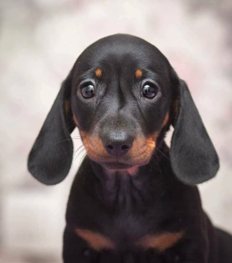 Dachshunds: Combinations of Smart and Beauty 27