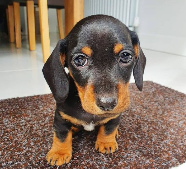 Dachshunds: Combinations of Smart and Beauty 21