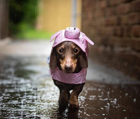 Dachshunds: Combinations of Smart and Beauty 22