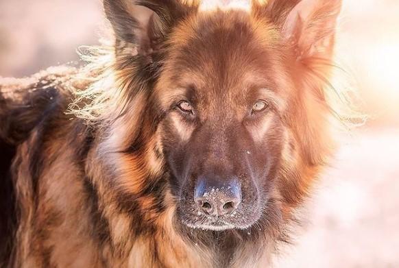 German Shepherds: Smart Service Dogs 19
