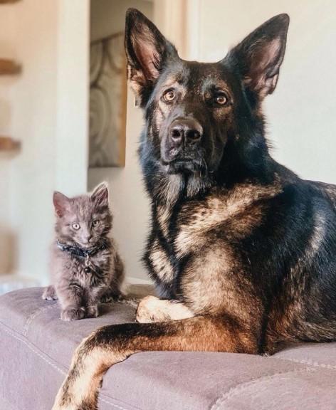 German Shepherds: Smart Service Dogs 23