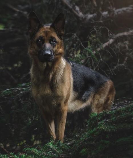 German Shepherds: Smart Service Dogs 22