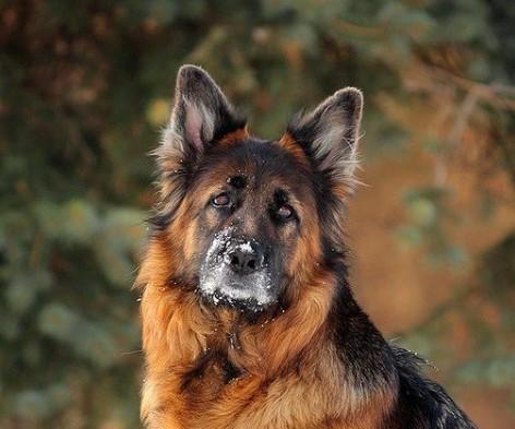 German Shepherds: Smart Service Dogs 21