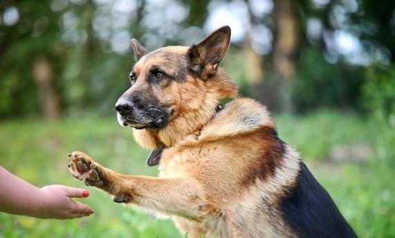 German Shepherds: Smart Service Dogs 25