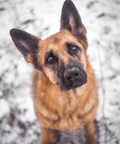 German Shepherds: Smart Service Dogs 26