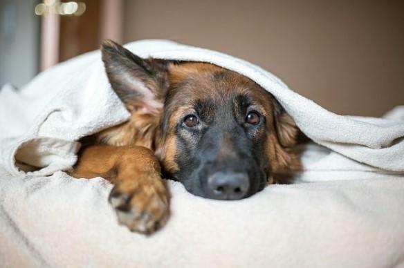 German Shepherds: Smart Service Dogs 24