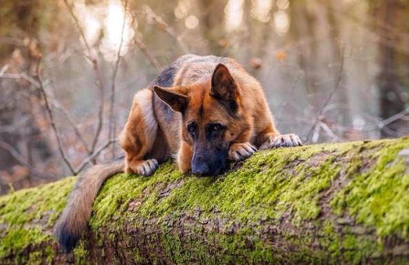 German Shepherds: Smart Service Dogs 20