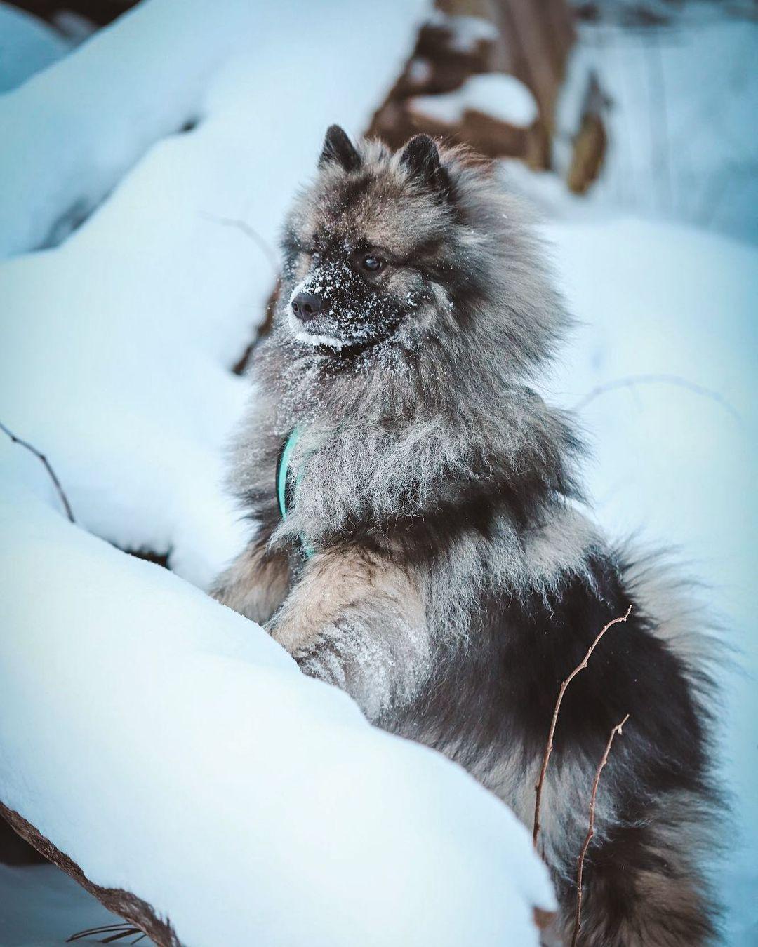 Keeshond Dog 21