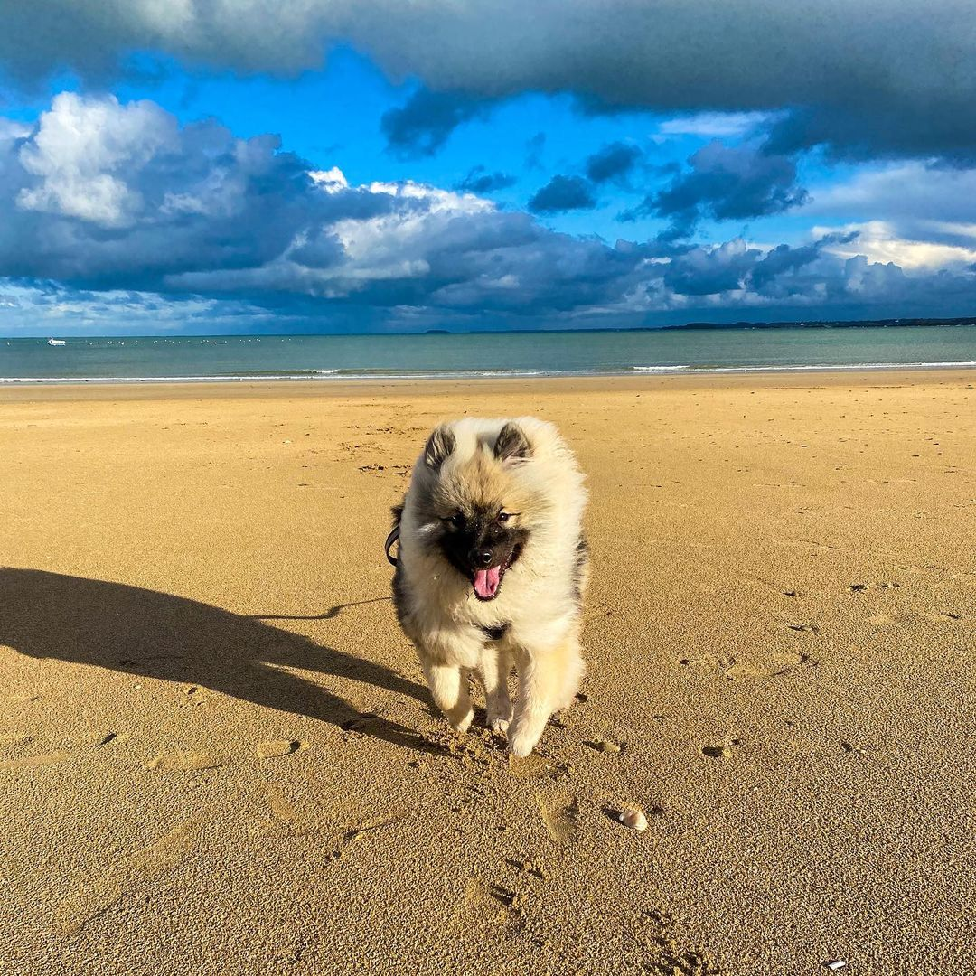 Keeshond Dog 19