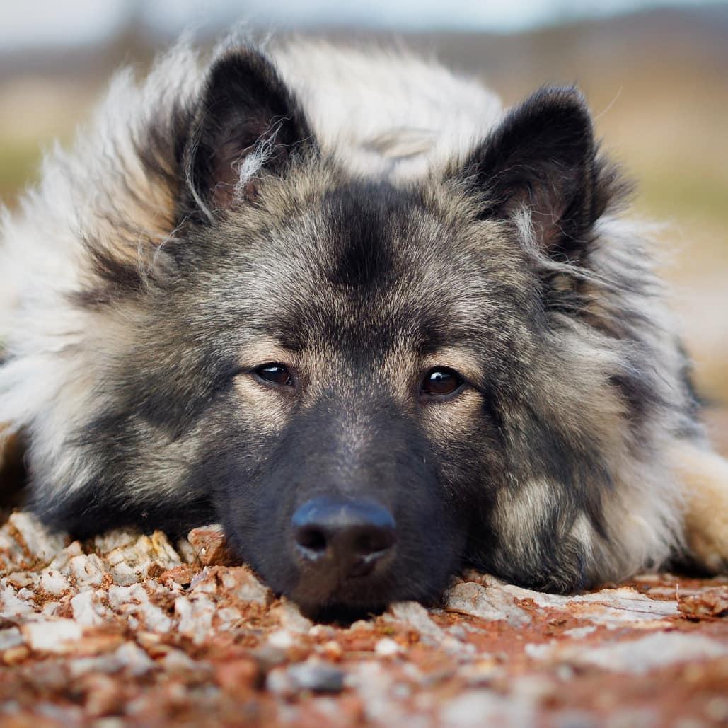Keeshond Dog 17