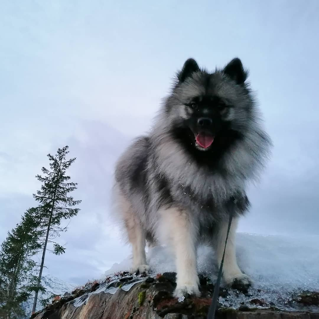 Keeshond Dog 16