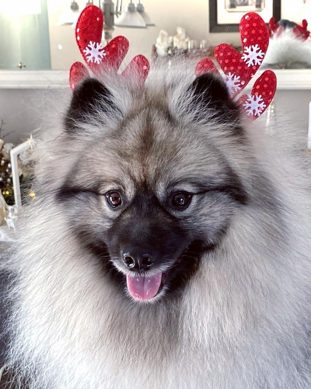 Keeshond Dog 15