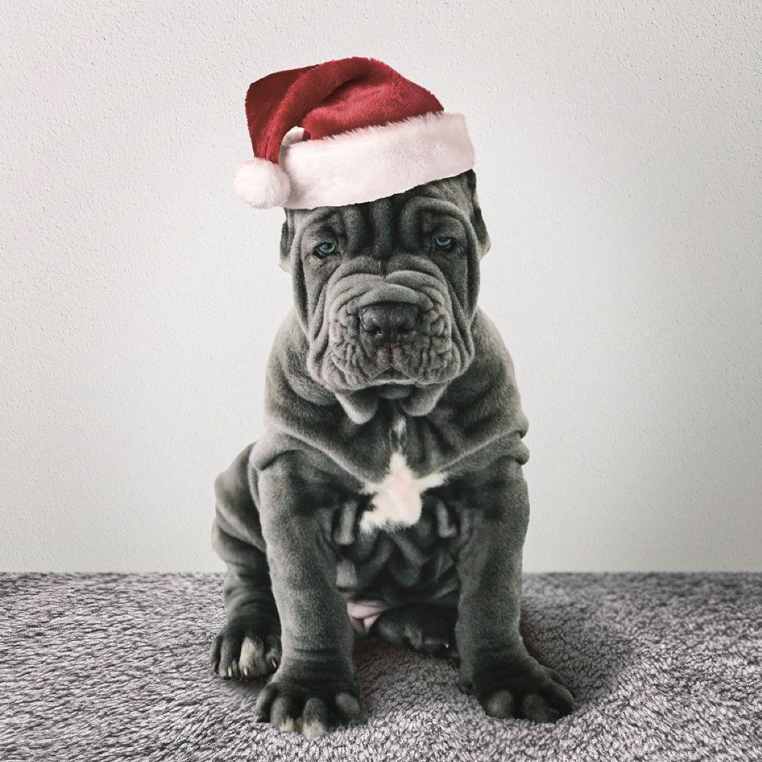 Neapolitan Mastiff Dog 17