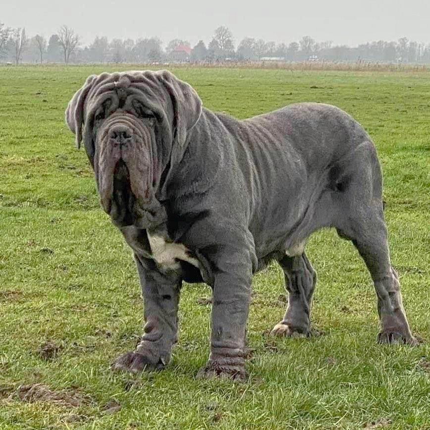 Neapolitan Mastiff Dog 19