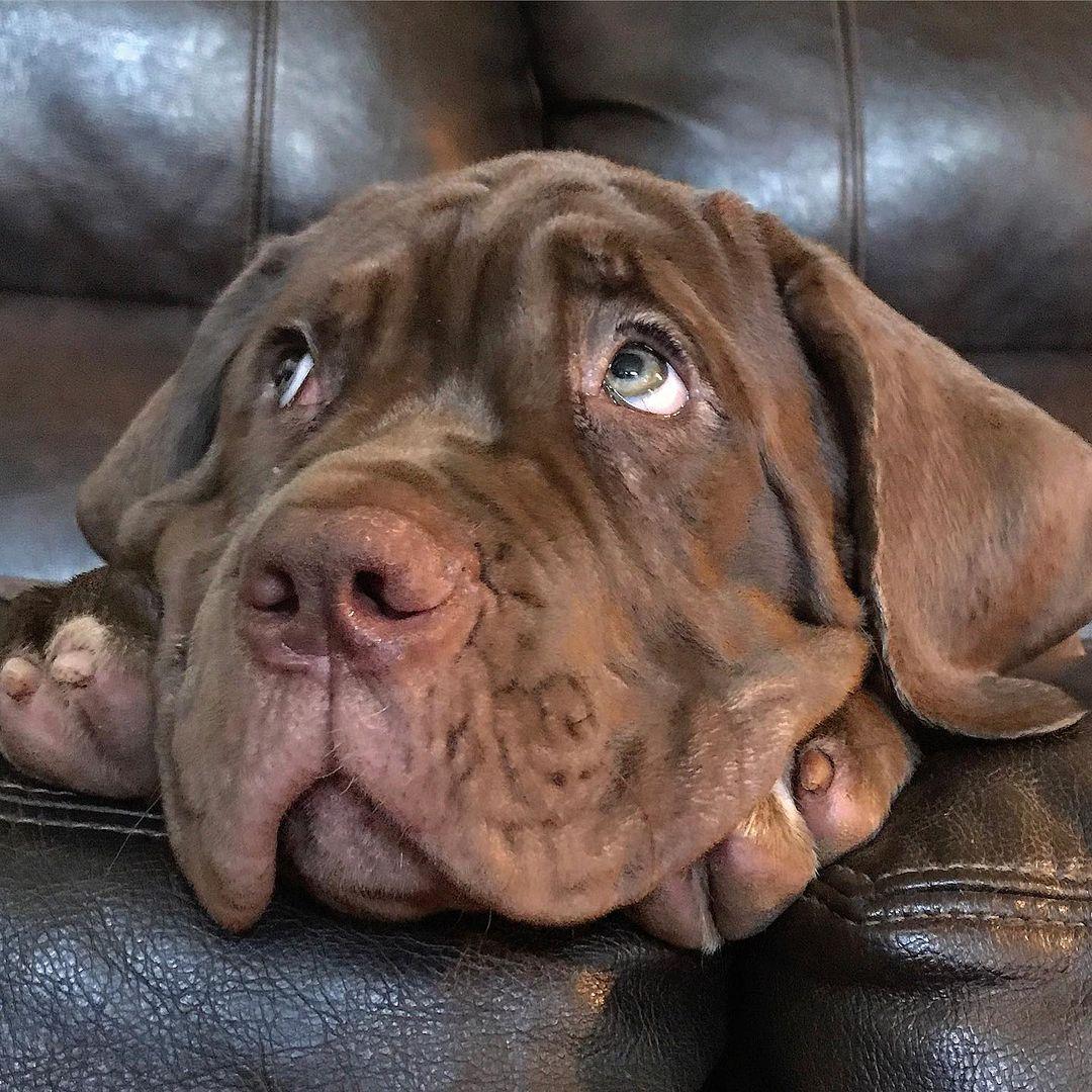 Neapolitan Mastiff Dog 20