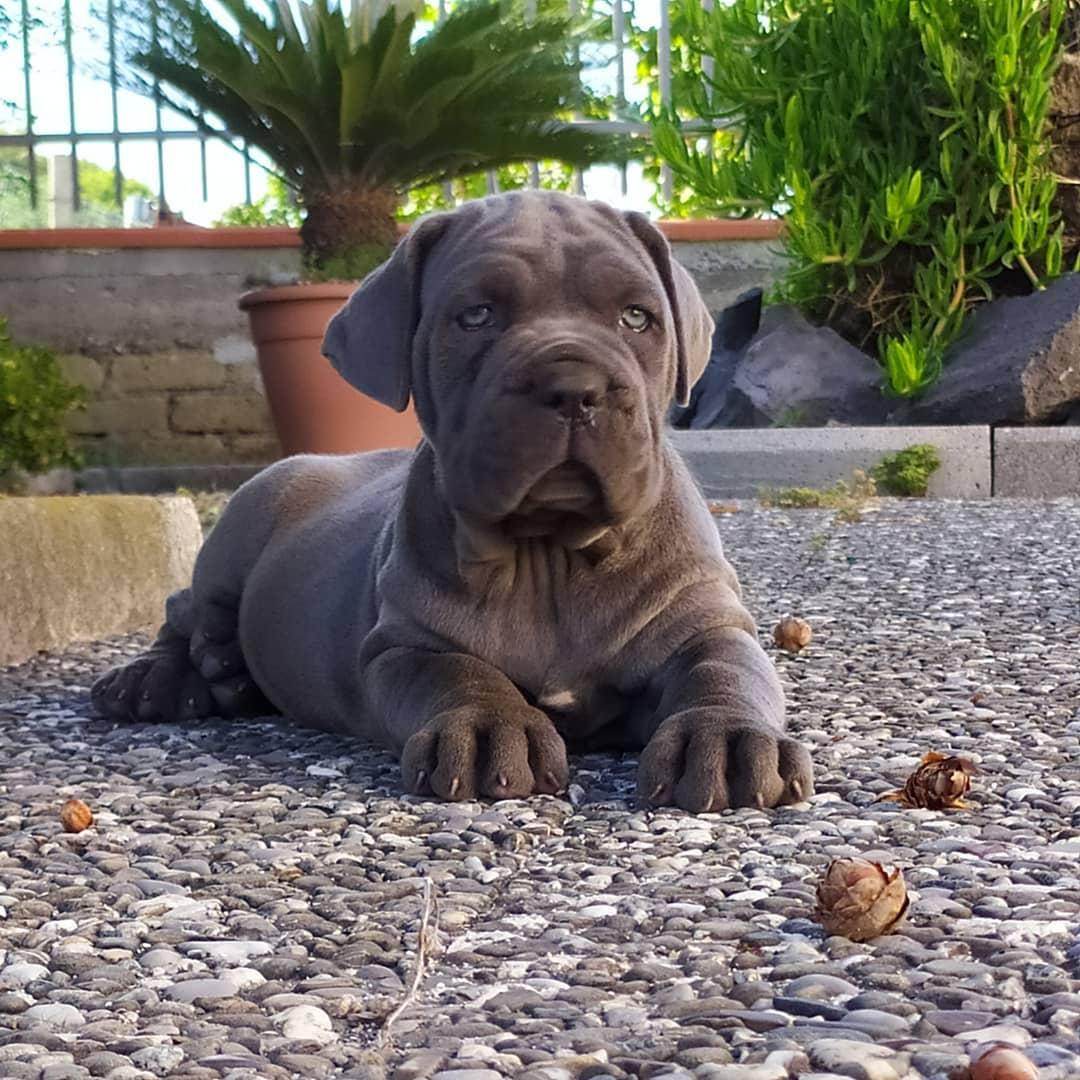 Neapolitan Mastiff Dog 21