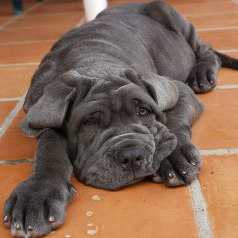 Neapolitan Mastiff Dog 24
