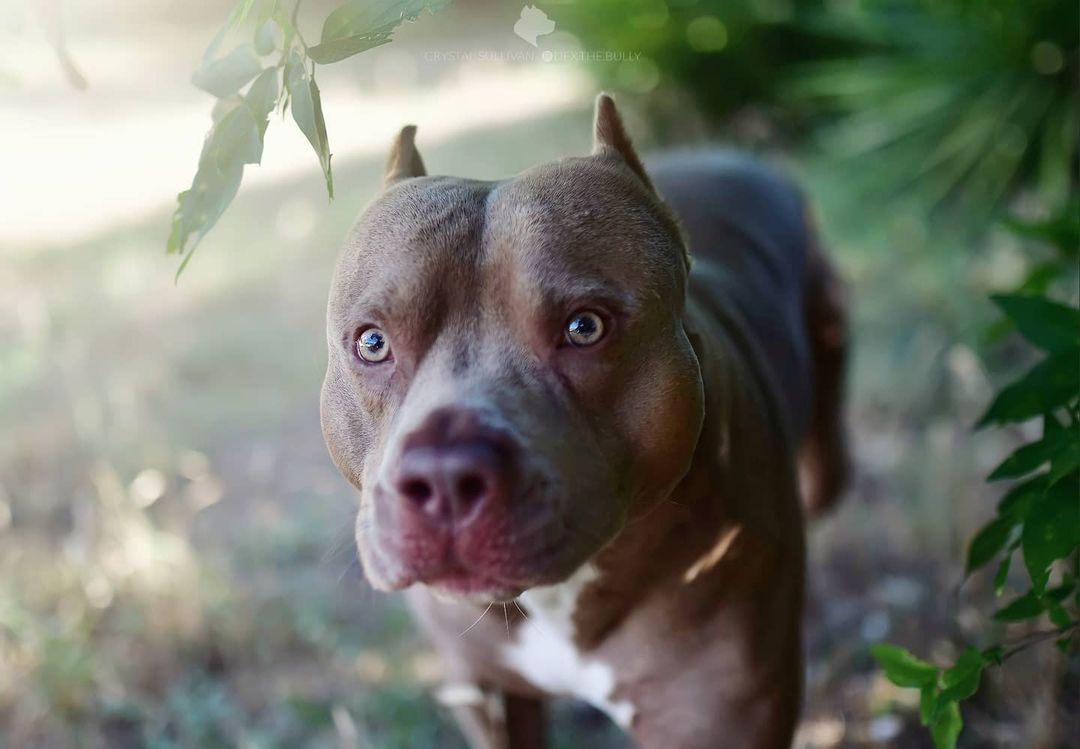 The Pit Bull Dog 7