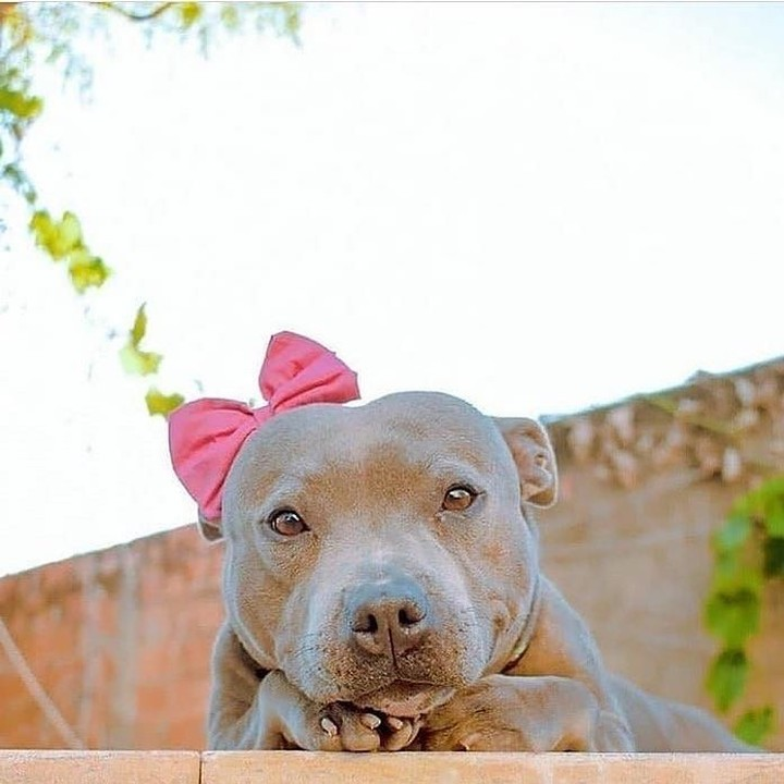 The Pit Bull Dog 5