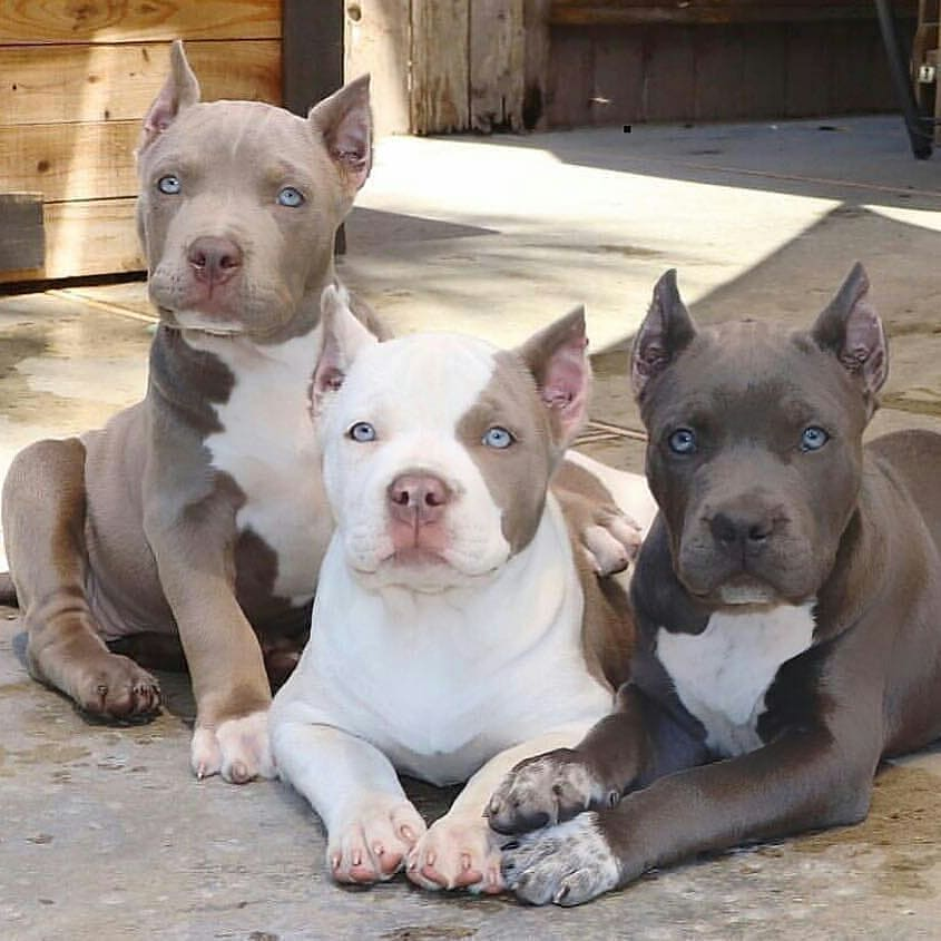The Pit Bull Dog 4