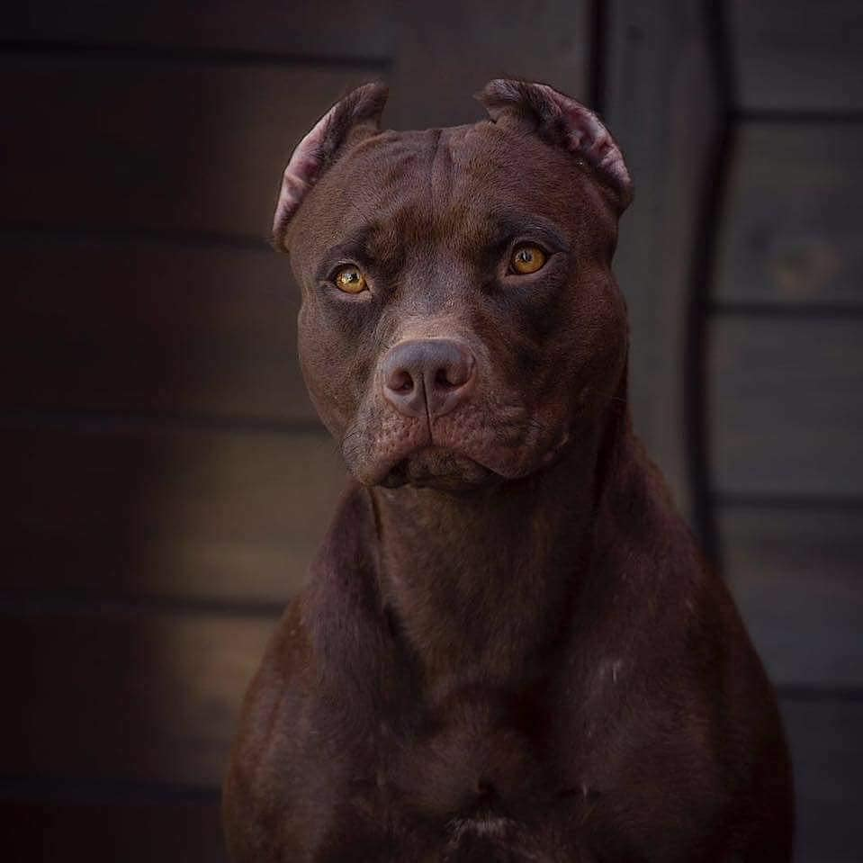 The Pit Bull Dog 1