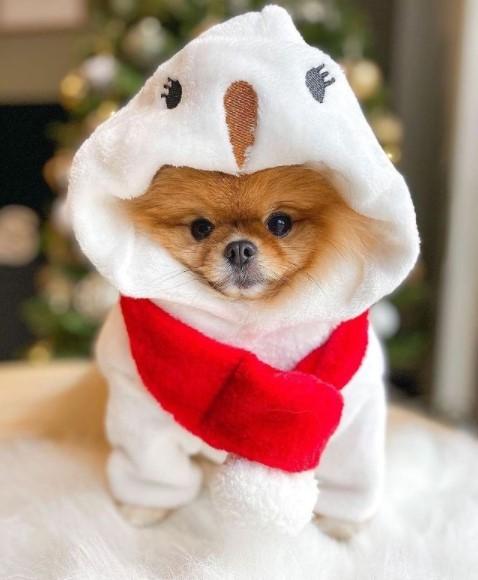 "Pomeranians: Furry ""Toys"" 17"