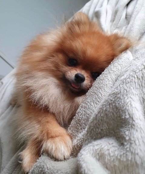 "Pomeranians: Furry ""Toys"" 23"