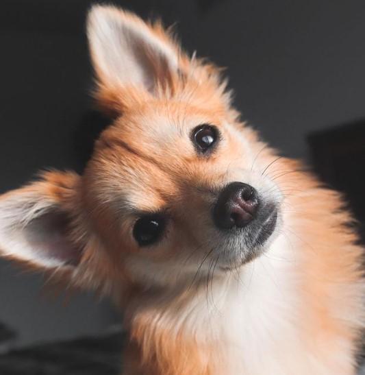"Pomeranians: Furry ""Toys"" 20"