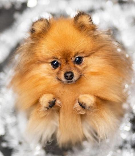"Pomeranians: Furry ""Toys"" 24"
