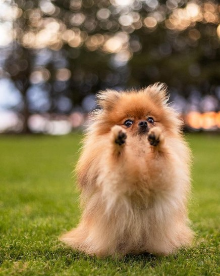"Pomeranians: Furry ""Toys"" 22"