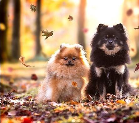 "Pomeranians: Furry ""Toys"" 19"