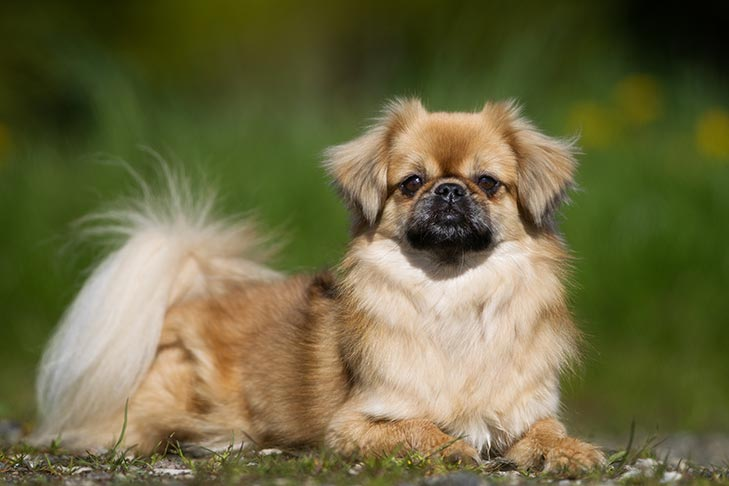 Tibetan Spaniel Dog 17