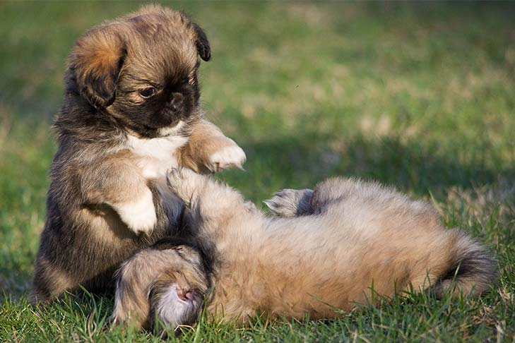 Tibetan Spaniel Dog 24